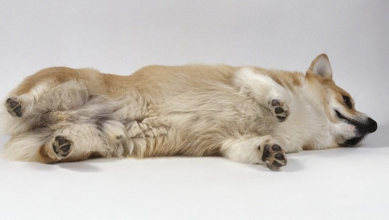 Pembroke Welsh Corgi rolling over on the floor