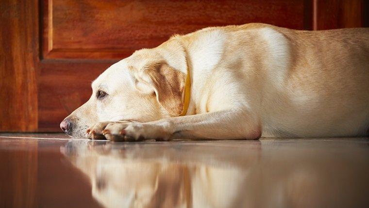 Labrador retriever is lying in door of the house