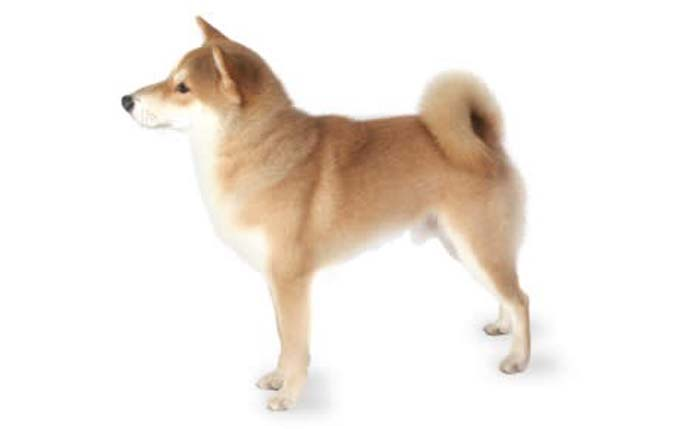 small-dogs-shiba-inu