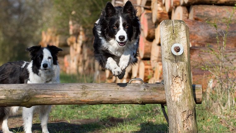 Two Border Collies. One is jumping over a wooden beam. The other one is standing behind the beam. Both look into camera. Location: Forest.