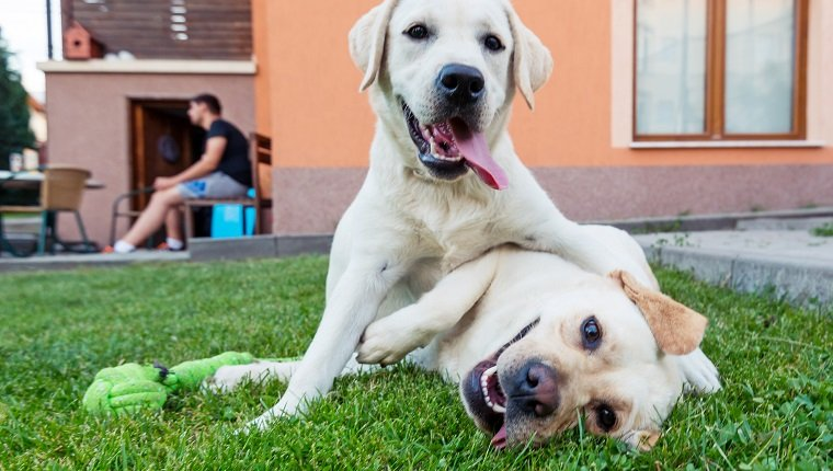Closeup image of a couple of yellow labrador retriever dog playing in backyard.