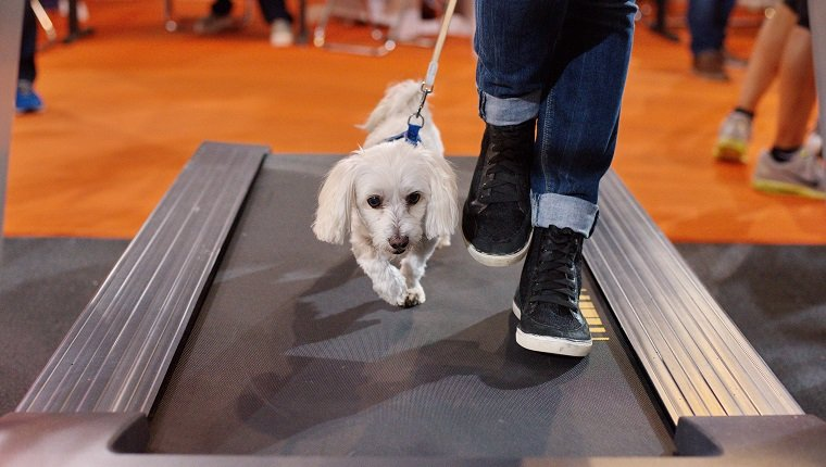 Maltese dog and owner walking on a running machine