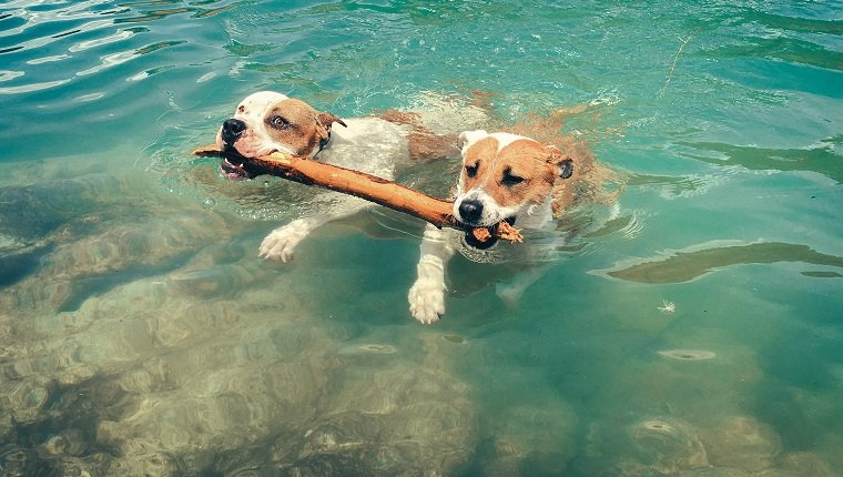 High Angle View Of Dogs Carrying Stick In Mouth While Swimming At Lake