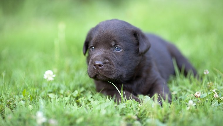 Brown labrador puppy on the grass