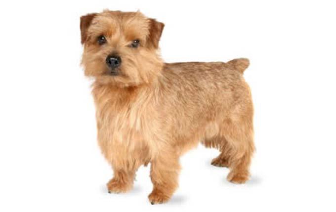 high-energy-small-dog-norfolk-terrier
