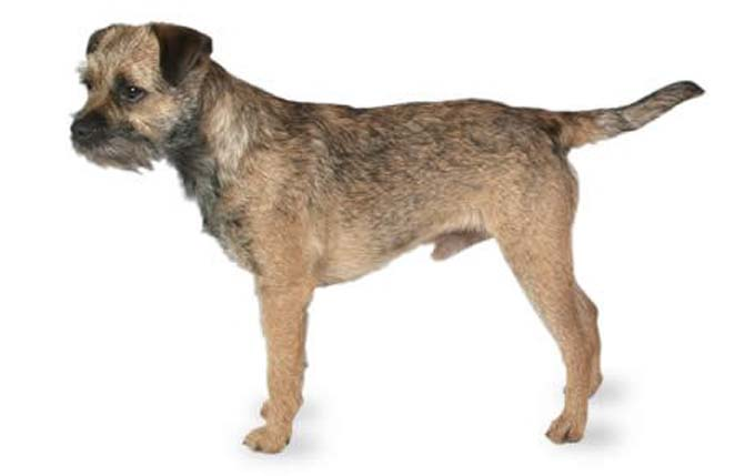 high-energy-small-dog-border-terrier