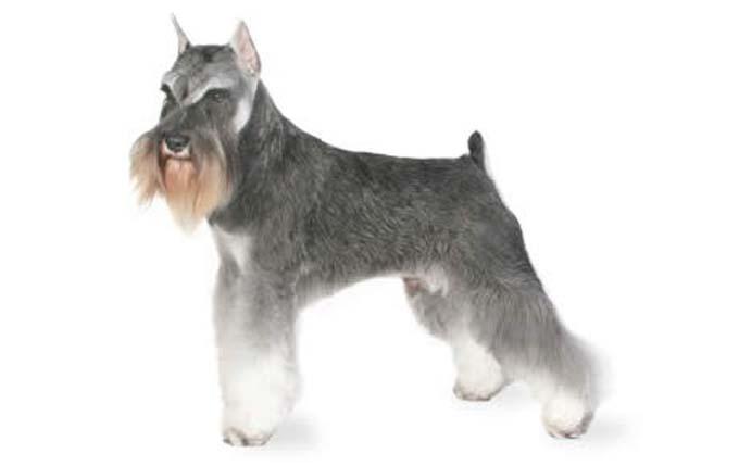 high-energy-small-dog-miniature-schnauzer
