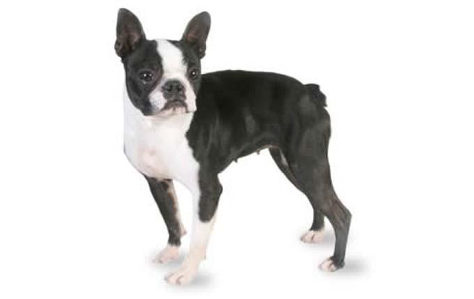 high-energy-small-dogboston-terrier