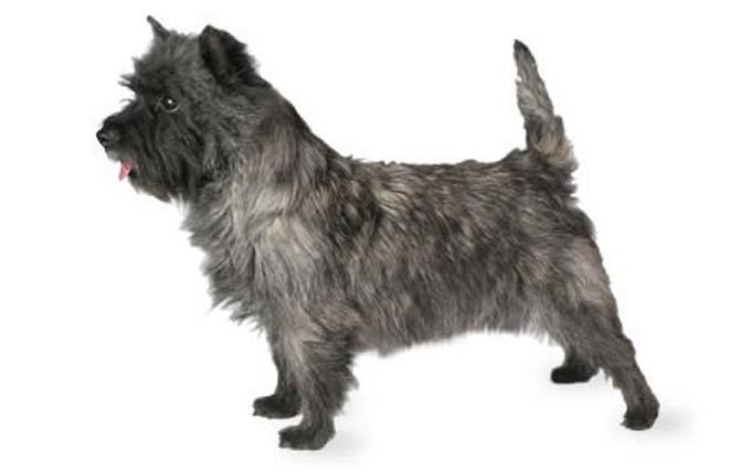 high-energy-small-dog-cairn-terrier
