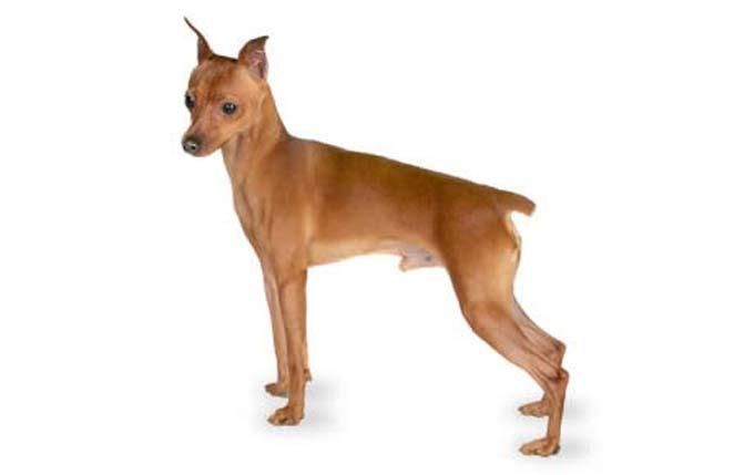high-energy-small-dogminiature-pinscher