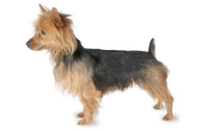 high-energy-small-dog-australian-terrier