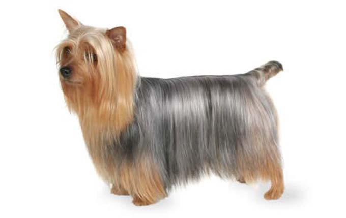 high-energy-small-dog-silky-terrier