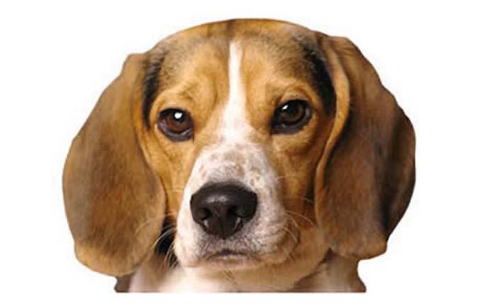 high-energy-small-dog-pocket-beagle