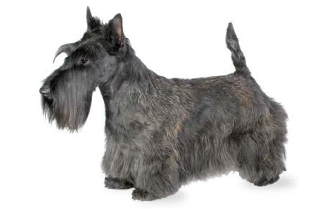 high-energy-small-dog-scottish-terrier