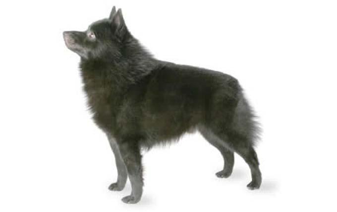 high-energy-small-dog-schipperke