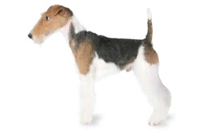 fox-terrier