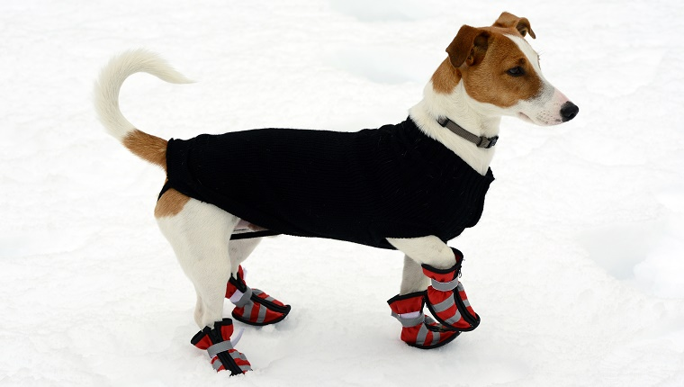 A Jack Russell Terrier walks in the snow with a coat and boots.