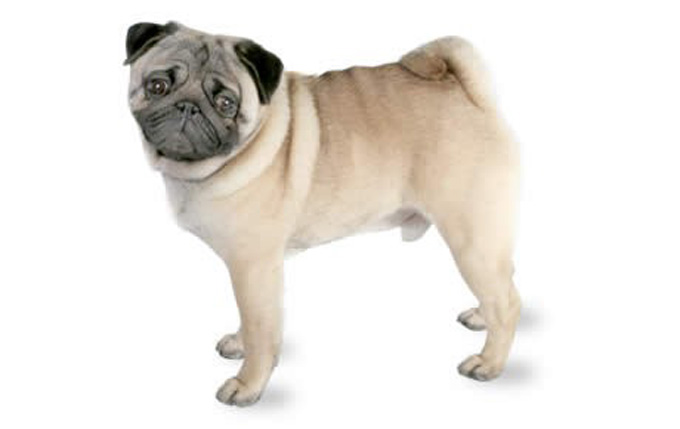 17-small-dogs-pug