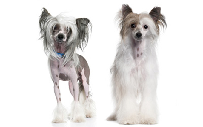 5-small-dogs-chinese-crested