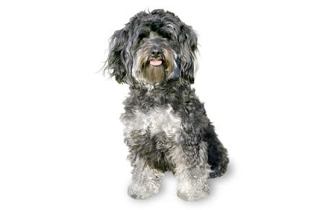 11-small-dogs-maltipoo