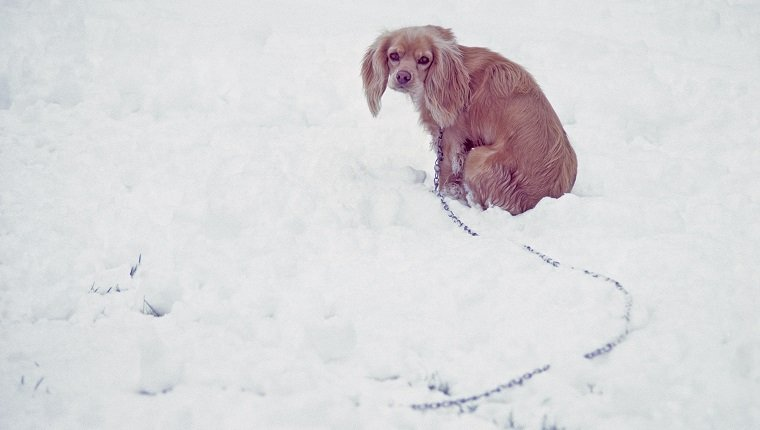 A cold and wet pet Cocker Spaniel dog tied up on chain, outside in the cold winter snow.
