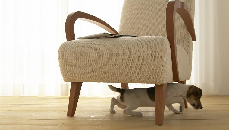 A Jack Russell Terrier climbs under an armchair.