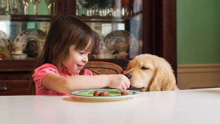 Girl feeding golden retriever puppy dog at table