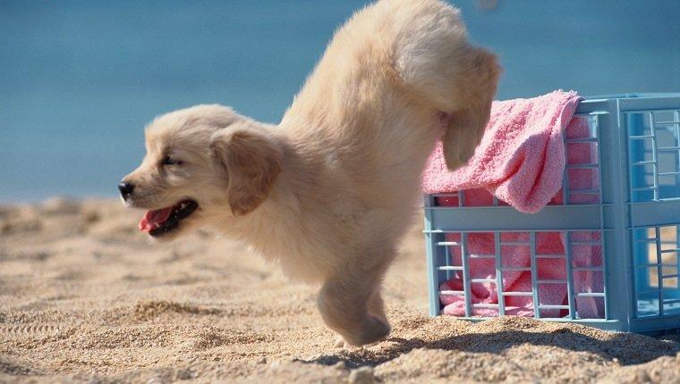 Puppy Jumps onto Beach