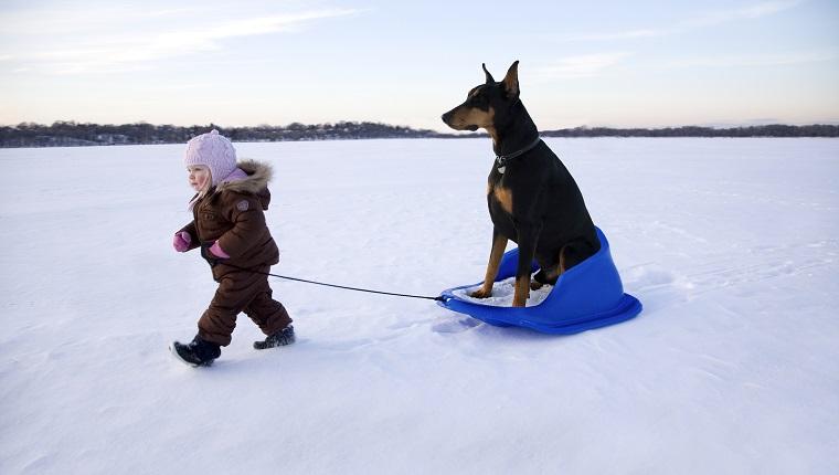 Girl (15-18 months) pulling Doberman on sledge in winter landscape
