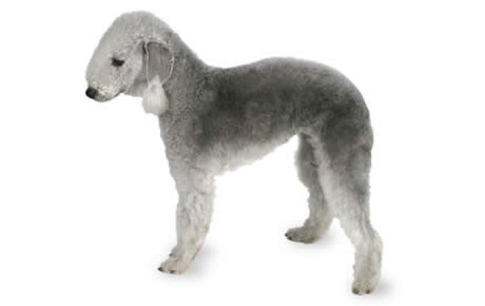 1-small-dogs-bedlington-terrier