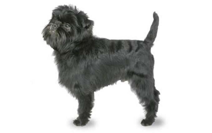 high-energy-small-dog-affenpinscher