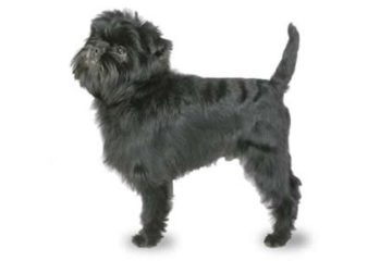 high-energy-small-dog-affenpinscher