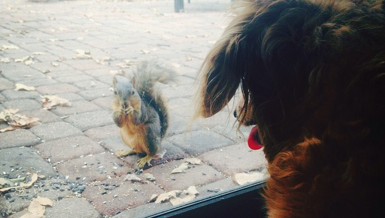 Dog Looking At Squirrel Through Glass Sliding Door