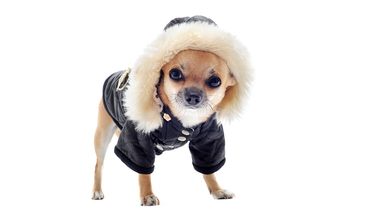 A small dog wears a thick coat with a hood against a white background.