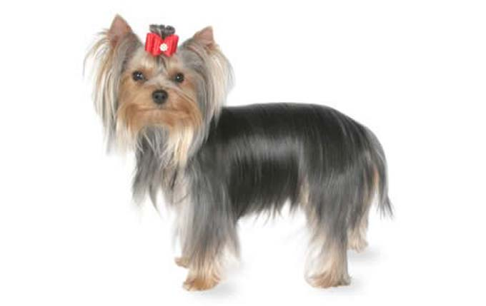 yorkshire-terrier-small dog