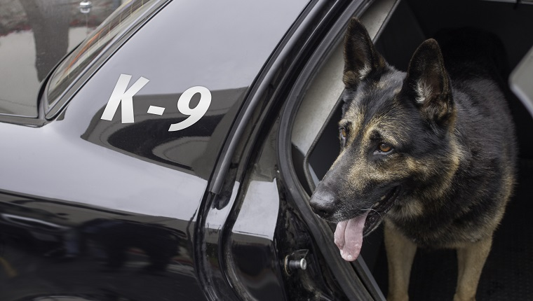 Police canine waiting in the back of a patrol car for his orders.