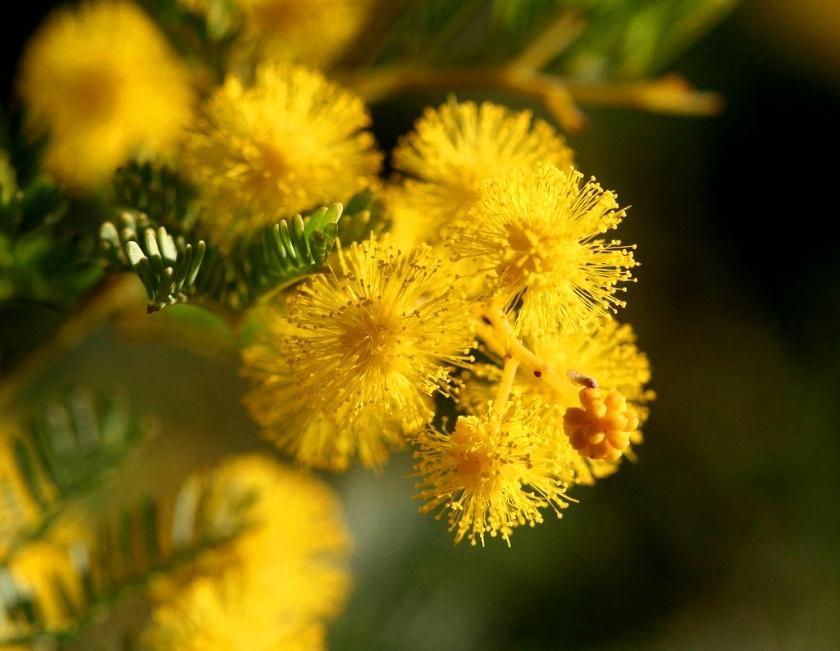 Flower Of Australia