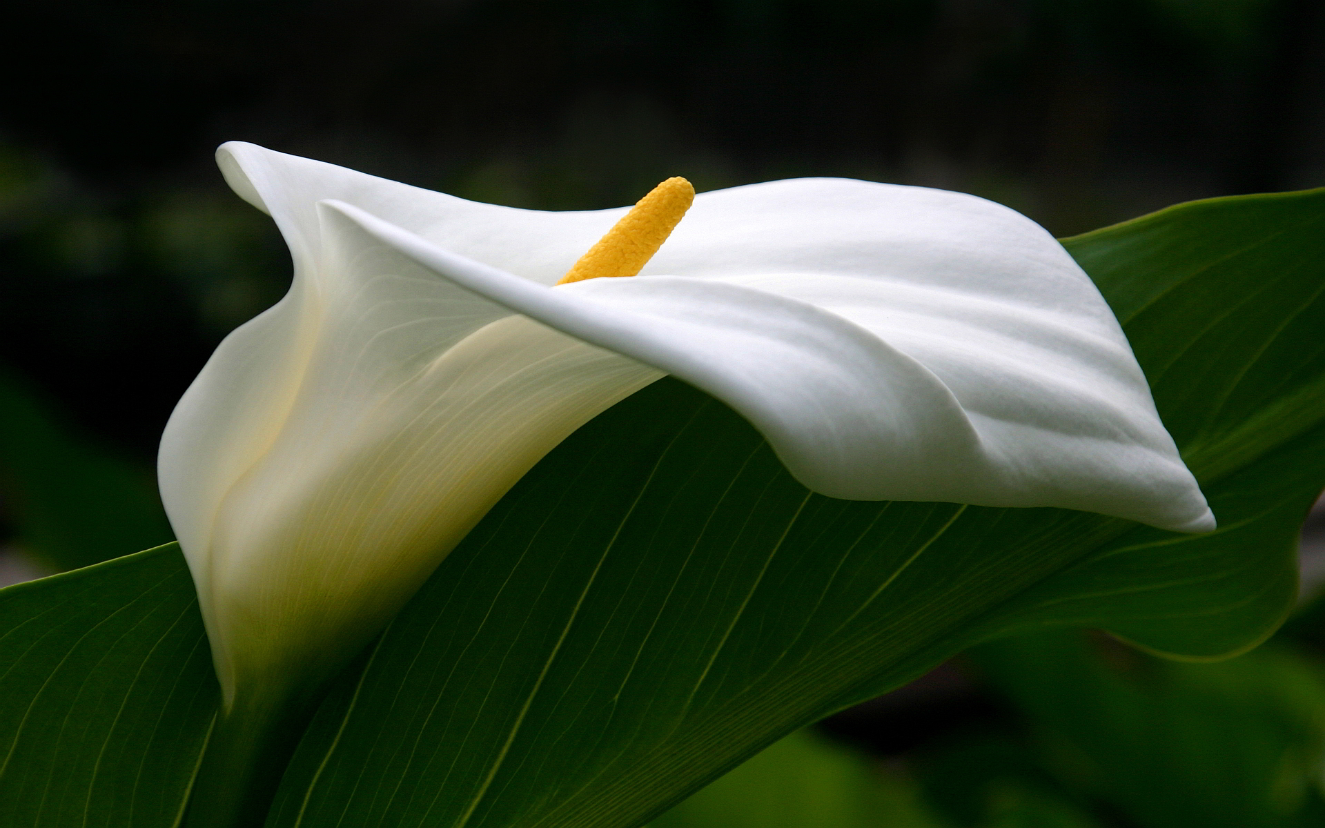 National Flower Of Ethiopia calla lily