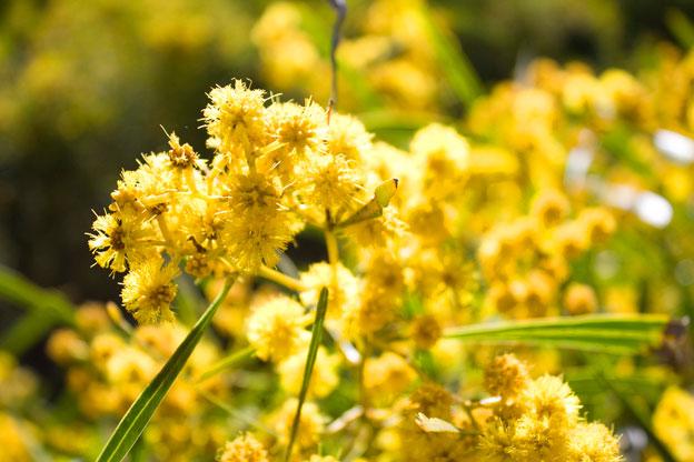 National Flower of Australia GOLDEN WATTLE