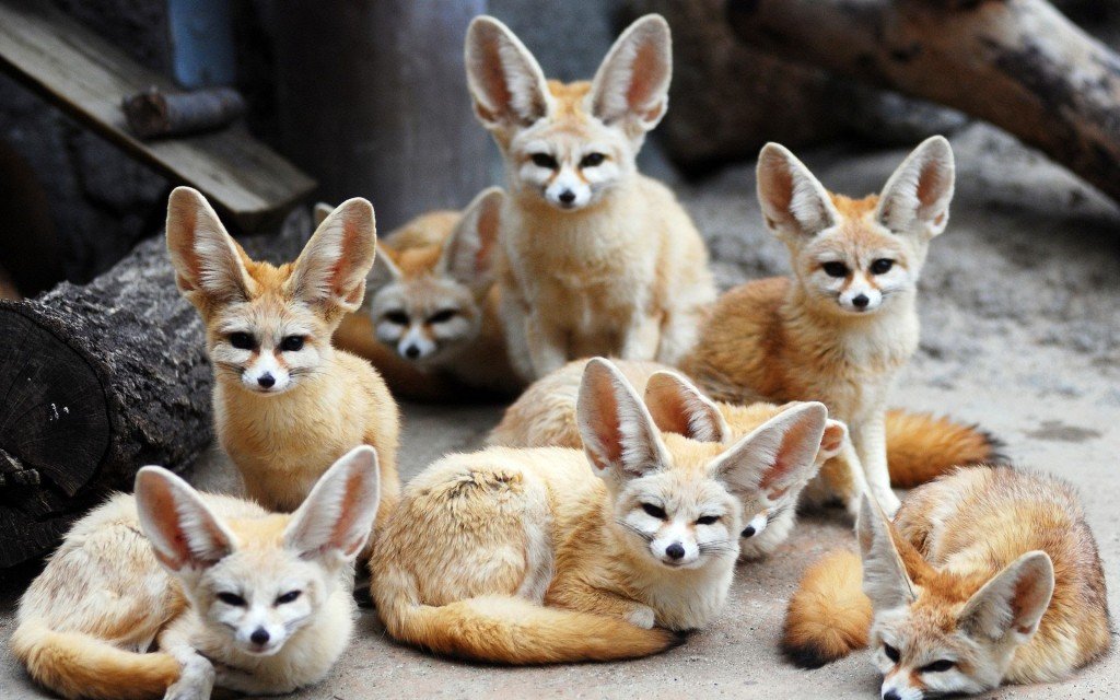 National animal of algeria fennec fox
