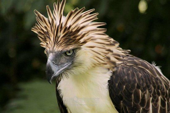 National animal of nigeria Philippine eagle