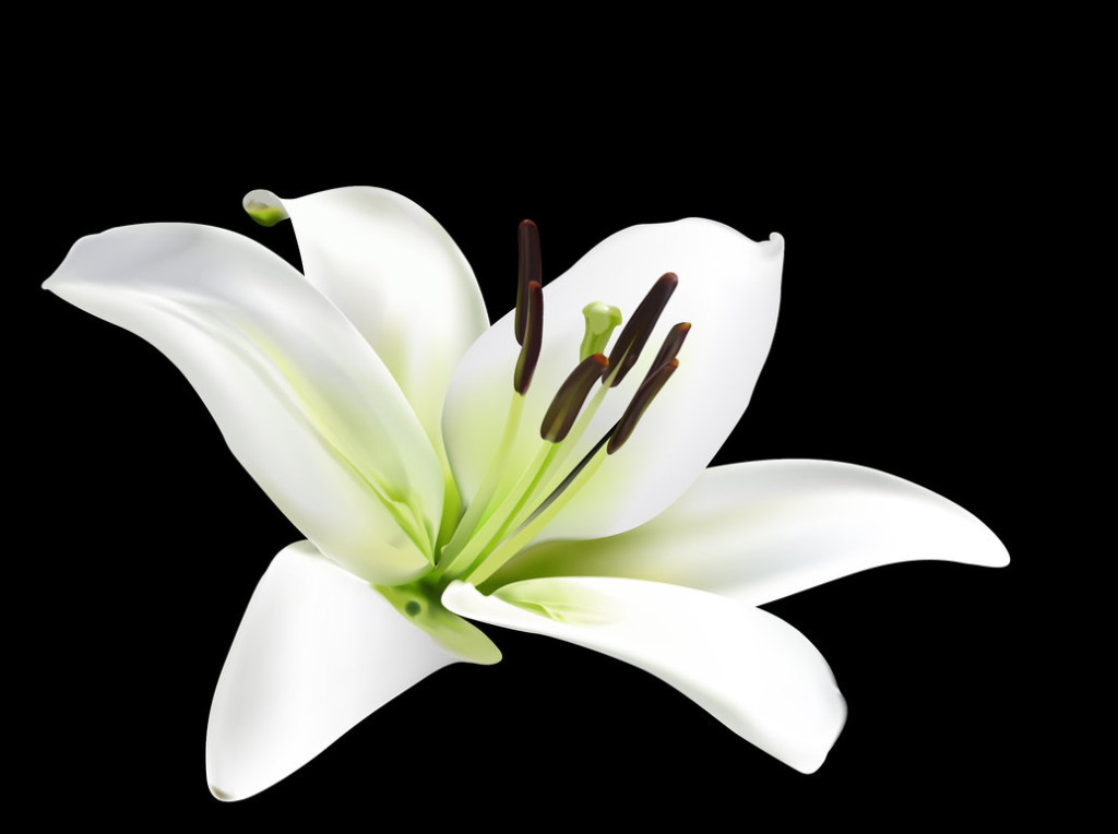 National flower of Italy Lily