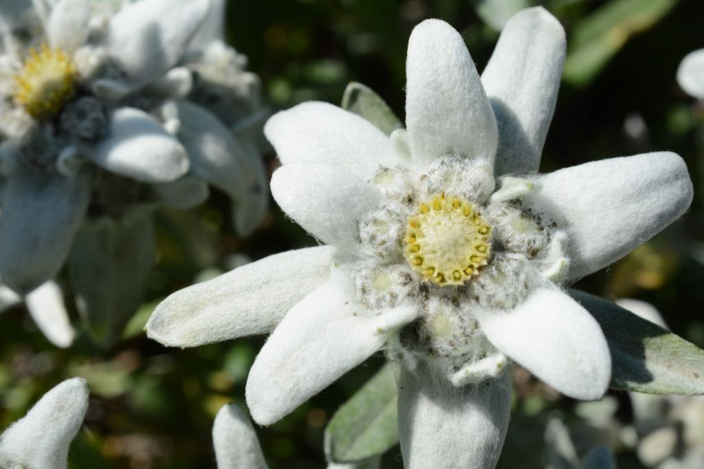 Edelweiss National flower of Switzerland