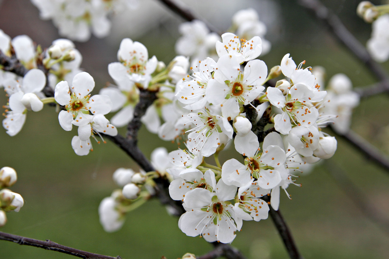 national flower of China