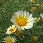 National flower of denmark marguerite daisy