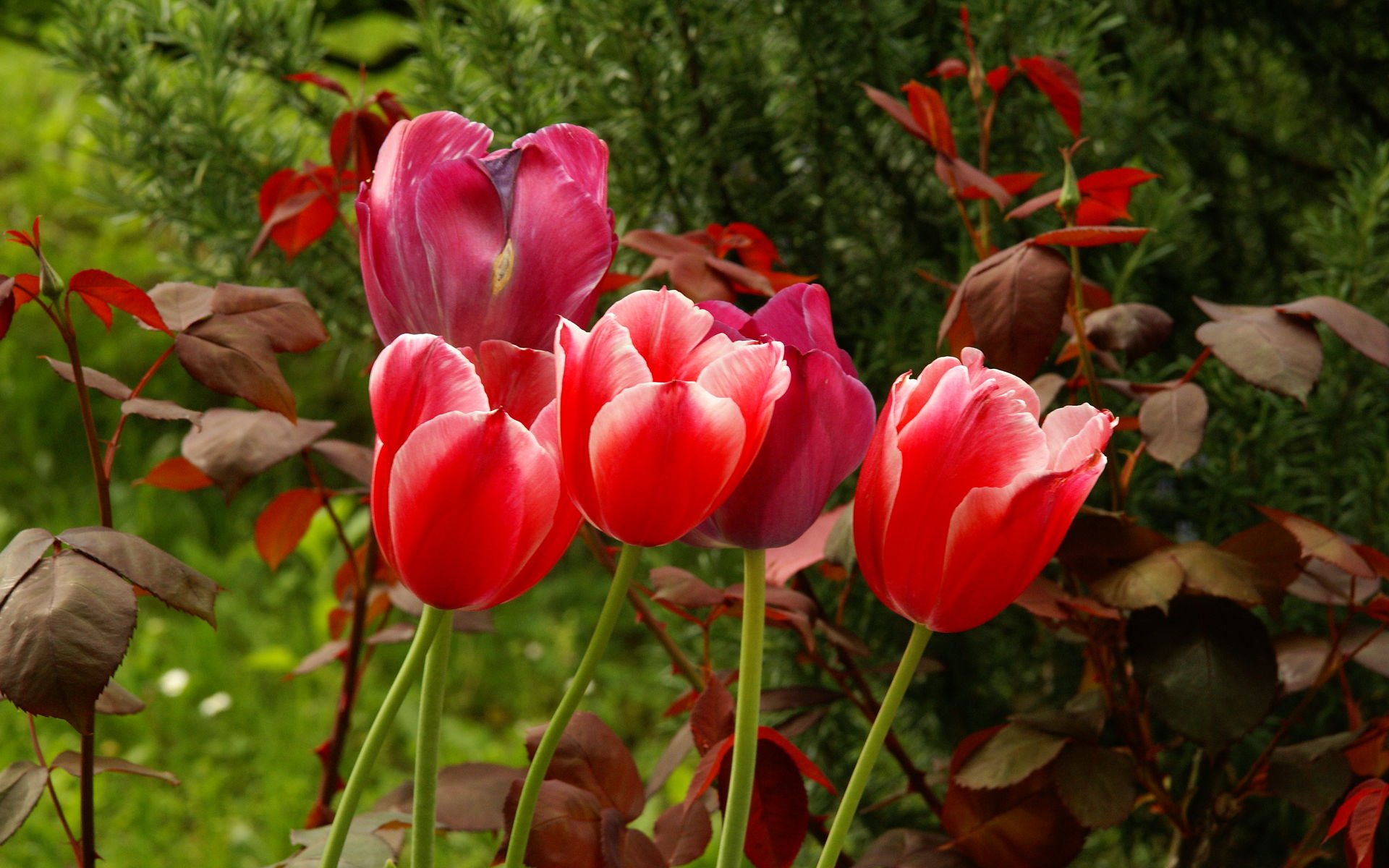 National flower of hungary tulip