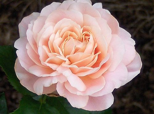 National flower of iran rose