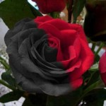 Red Rose: The National Flower of Iraq