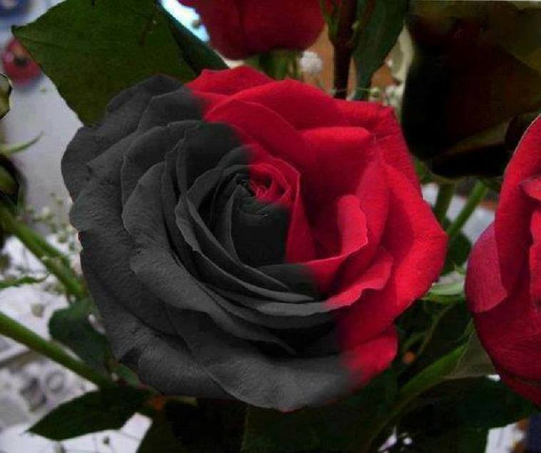 National flower of iraq red rose
