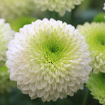 National flower of japan chrysanthemum